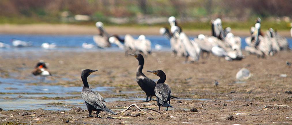 shorebirds-mazatlan