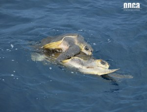 Sea turtles mating in Mazatlan